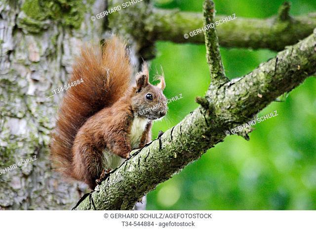 Red Squirrel (Sciurus vulgaris). Schleswig-Holstein, Germany