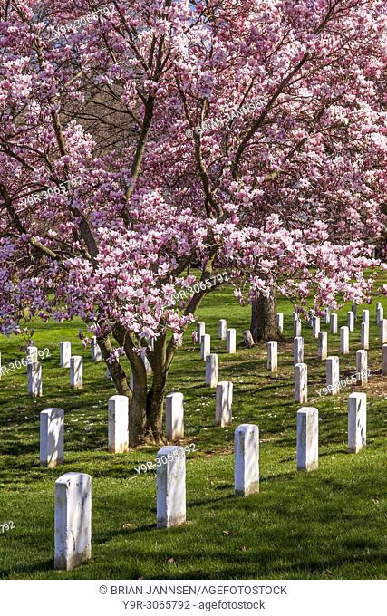 Magnolia trees blossom over the tombstones of Arlington National Cemetery near Washington, DC, USA