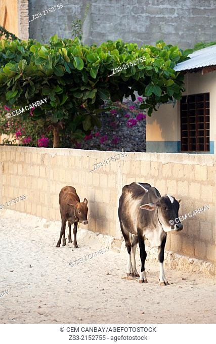 Oxen in front of a wall in Jambiani village, Zanzibar Island, Tanzania, East Africa