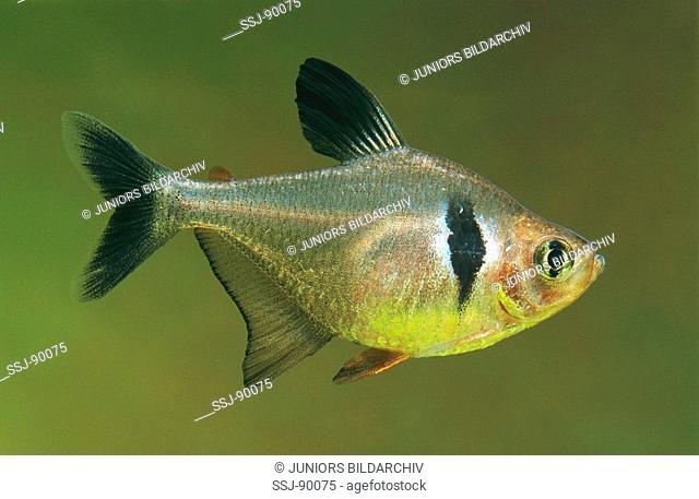 Charicidae / Hyphessobrycon megalopterus