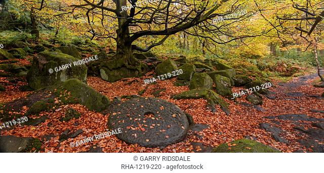 A millstone lies covered in red autumn leaves with the adjacent woodland in full autumn colour, Padley Gorge, Grindleford, Peak District National Park