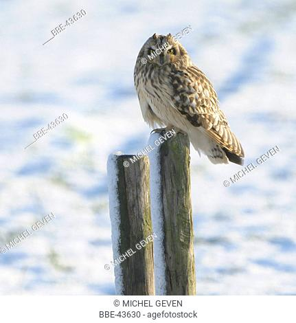 Short-eared Owl on snow covered wooden pole in snow landscape