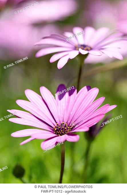 Osteospermum, Osteospermum jucundum, close up of pink flower with others behind