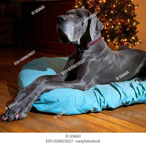 Blue Great Dane that is laying perfectly next to a Christmas tree