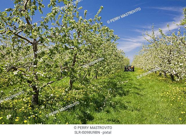 Orchard of apple trees