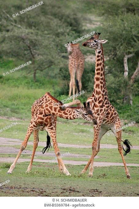 Masai giraffe (Giraffa camelopardalis tippelskirchi), fighting giraffes, Tanzania, Serengeti National Park
