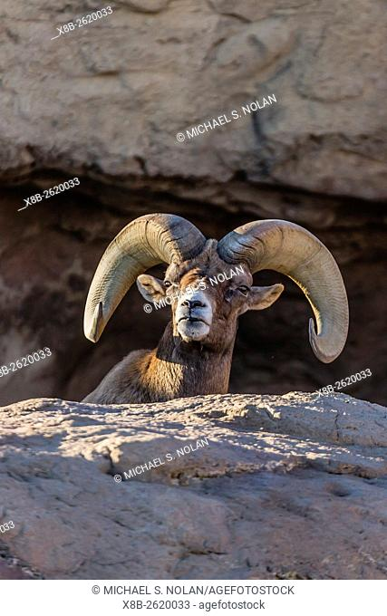Adult captive desert bighorn sheep, Ovis canadensis nelsoni, ram with full curl horns at the Arizona Sonora Desert Museum, Tucson, Arizona