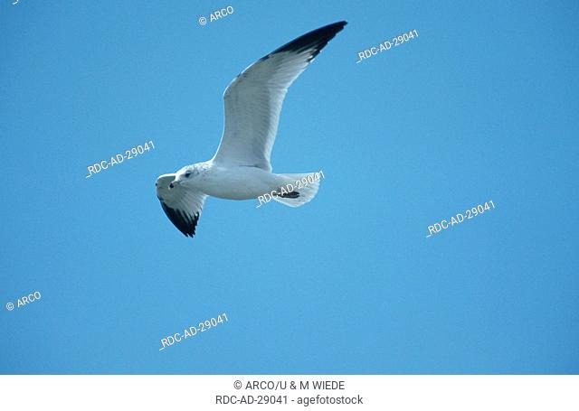 Ring-bill Gull Bear River Migratory Bird Refuge Utah USA Larus delawarensis