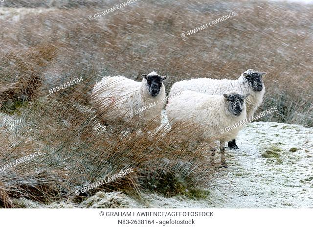 Sheep in a wintry landscape on the Mynydd Epynt moorland, Powys, Wales, UK