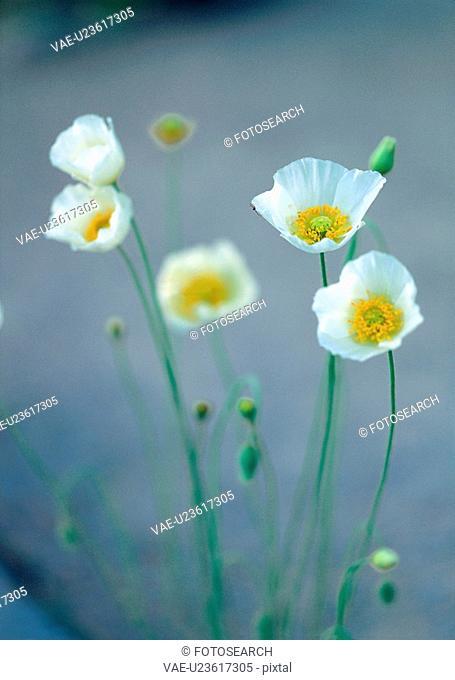 plants, nature, poppy, flower, plant, film