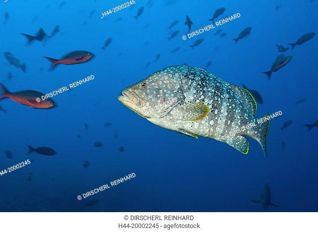 Leather Bass, Dermatolepis dermatolepis, Arch, Galapagos, Darwin Island, Ecuador