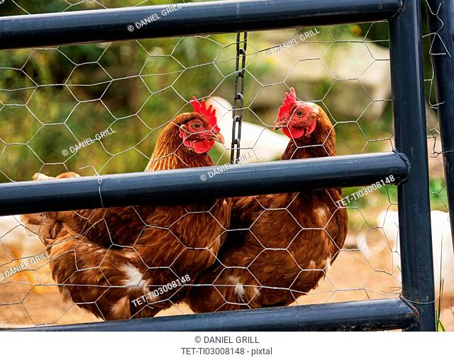 USA, Maine, Knox, Two chickens standing behind fence