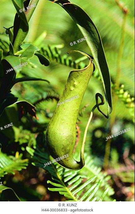 Pitcher plant, Nepenthes gracilis, Nepenthaceae, carnivorous plant, tropical plant, plant, rainforest, Singapore