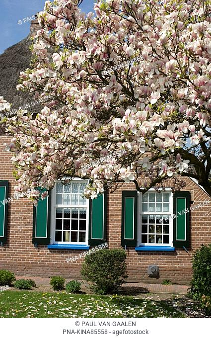 Magnolia spec. - Staphorst, Overijssel, The Netherlands, Holland, Europe