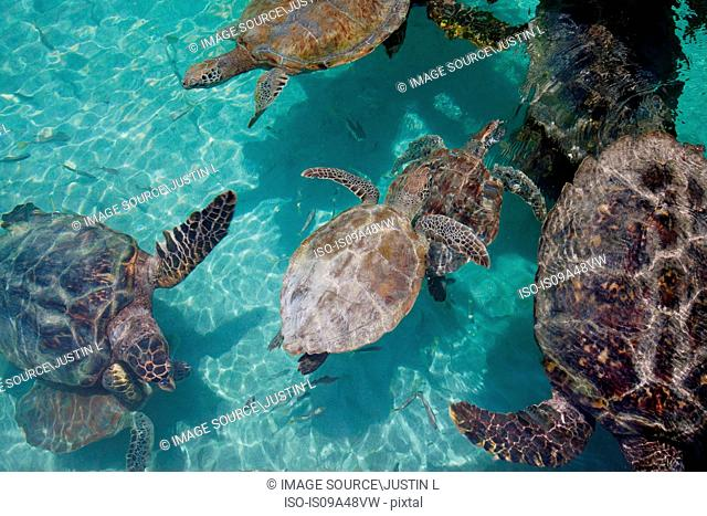 Turtles swimming in tropical water