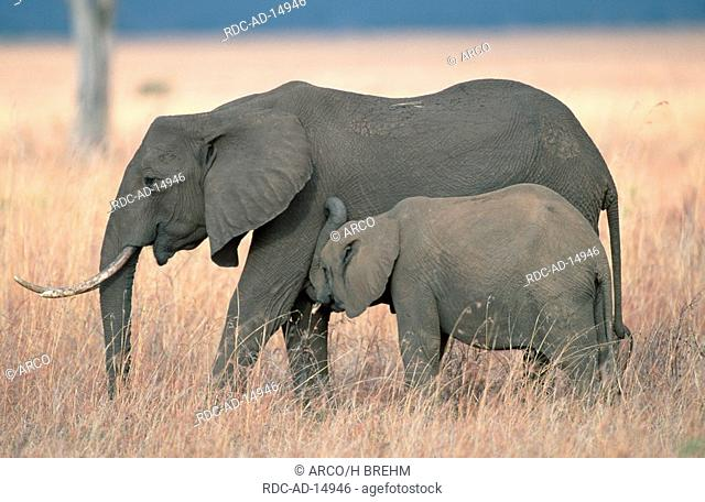 African Elephants cow with calf Serengeti national park Tanzania Loxodonta africana side
