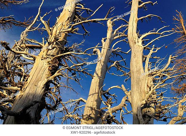 dead trees in the highlands of Mount Hood, Cascade Range, Oregon, USA