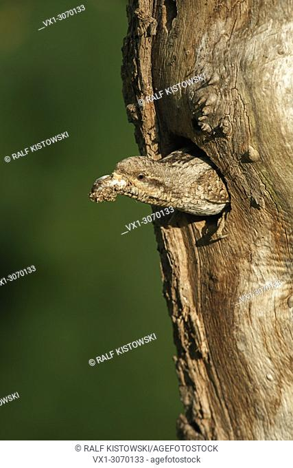 Wryneck ( Jynx torquilla ) emerging from nest hole, carrying, removing a faecal sac, cleaning its nest, typical reproductive behaviour, wildlife, Europe