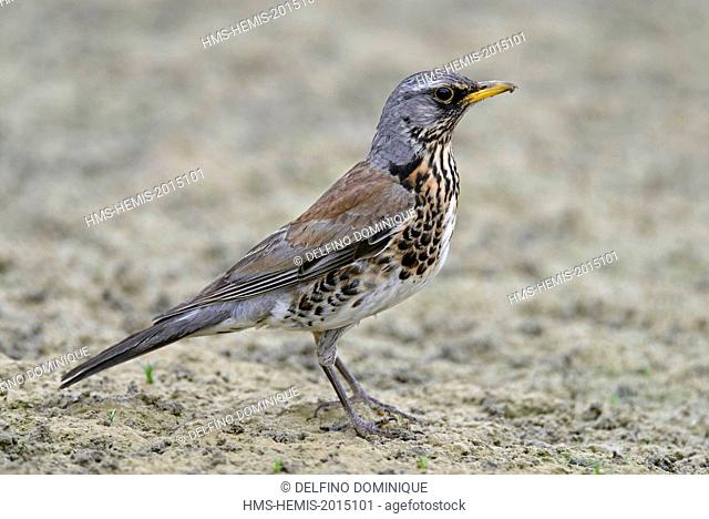 France, Doubs, natural area for Allan to Brognard, Fieldfare Turdus pilaris), capture of worms in the mud at low water to feed its young