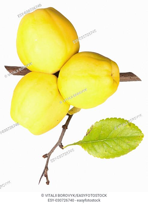 Ripe Quince With Leaf Isolated On White Background