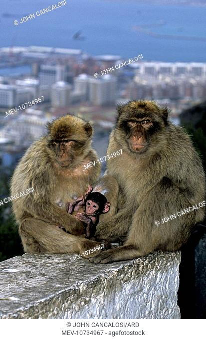 Barbary Macaque / Barbary Ape / Rock Ape - Parents with young and town in background (Macaca sylvanus)