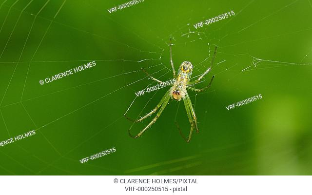 A female Orchard Orbweaver (Leucauge venusta) spider waits for prey at the center of its web