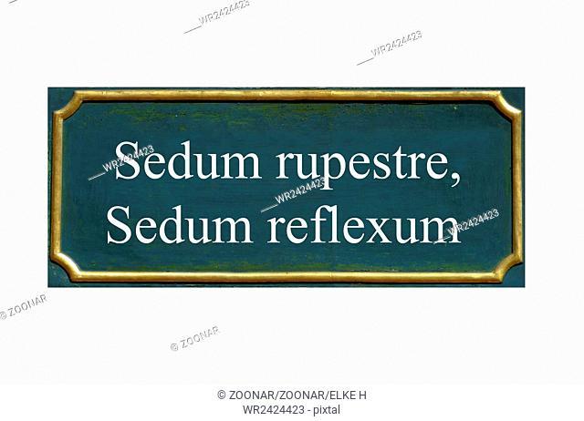 shield sedum rupestre, sedum reflexum