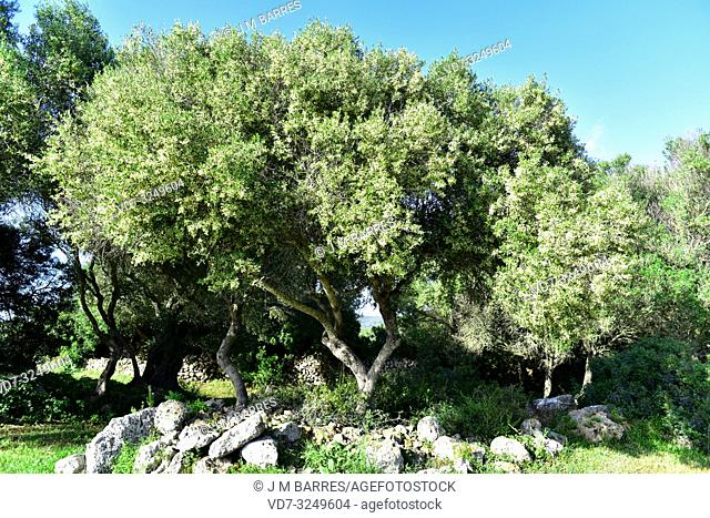 Wild olive (Olea europaea sylvestris or Olea oleaster) is a evergreen tree native to Mediterranean Basin. This photo was taken in Menorca, Balearic Islands