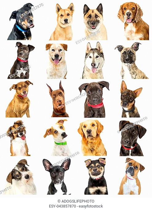 Set of twenty close-up portrait photos of cute dogs of different breeds. Sized to print on letter paper or for use on websites or social media