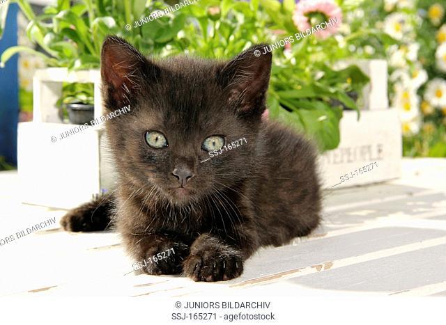 domestic cat - kitten 40 days - lying