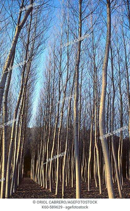 poplar grove in winter