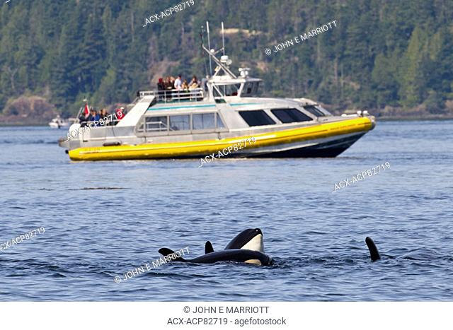 Whale watching in Johnstone Strait, BC, Canada