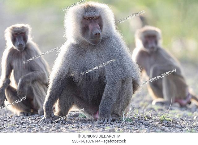 Hamadryas Baboon (Papio hamadryas). Dominant male with two other monkeys, sitting. Awash National Park, Ethiopia