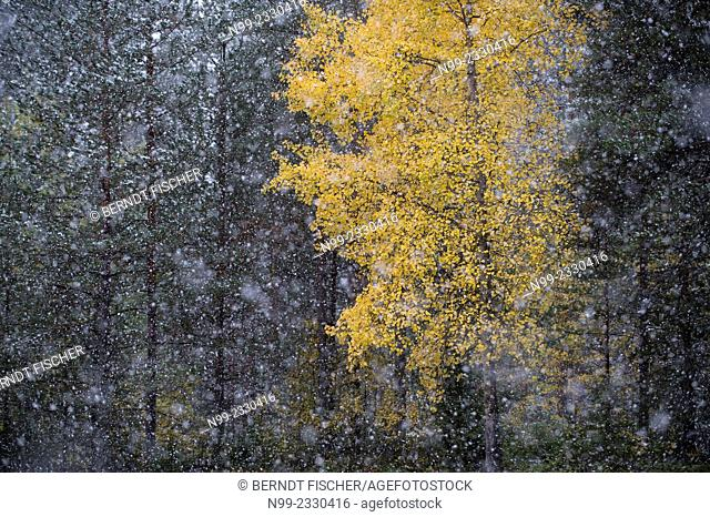First snow in autumn, coloured birch in boreal pinewood, Carelia, Finland