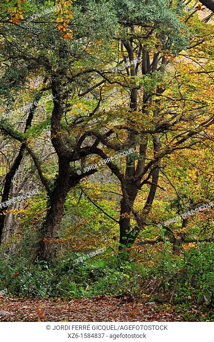 Autumn landscape in a deciduous forest, Montseny, Catalonia, Spain, Europe