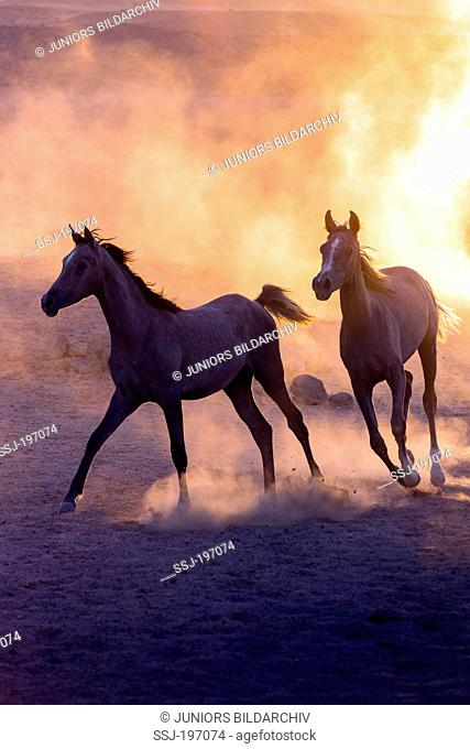 Arabian Horse. Pair of young mares galloping in the desert, evening light. Egypt