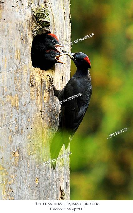 Black Woodpecker (Dryocopus martius) feeding chicks at the nest hole, Biebrza National Park, Poland