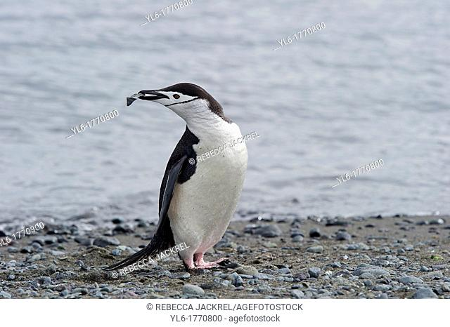 Chinstrap Penguin Pygoscelis antarcticus collecting pebbles for it's nest  Antarctica, Antarctic Penninsula