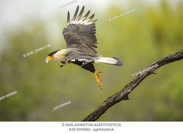 Crested Caracara (Caracara plancus) Taking flight from perch, Santa Clara Ranch, Starr County, Texas, USA