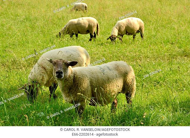 Several sheep grazing in a field in Heerlen in the Limburg province of the Netherlands. One of the sheep is looking into the camera