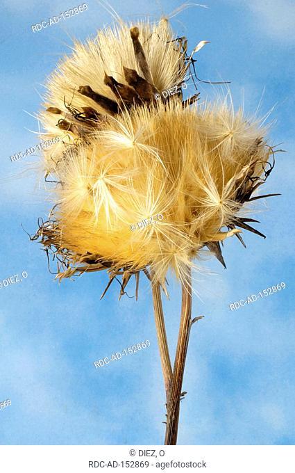 Artichoke seedhead Cynara scolymus