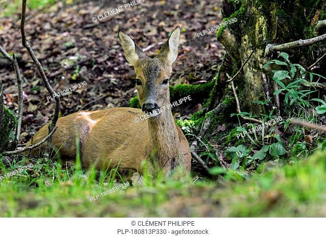 European roe deer (Capreolus capreolus) female / doe resting in forest in summer