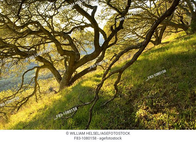 USA, California, San Francisco Bay Area, Contra Costa County, Kennedy Grove Regional Park, Grove of Coast Live Oaks Quercus agrifolia on a hillside
