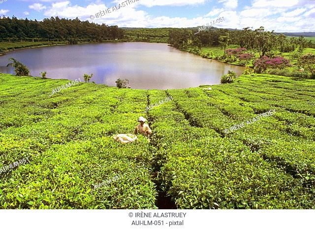 Mauritius - The Tea Route - La Route du Thé - Bois Chéri - Tea plantation - Tea harvest - landscape