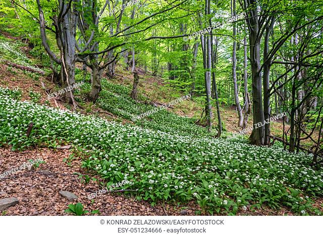 Wood Garlic in a beech forest on a slopes of Wetlina High Mountain Pasture in Western Bieszczady Mountains in Poland