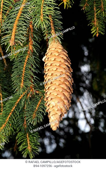 Cone (Picea sp.). Osseja, Languedoc-Roussillon, Pyrenees Orientales, France