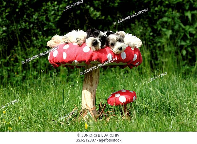 Miniature Schnauzer. Puppy (6 weeks old) lying on a big Fly Agaric. Germany