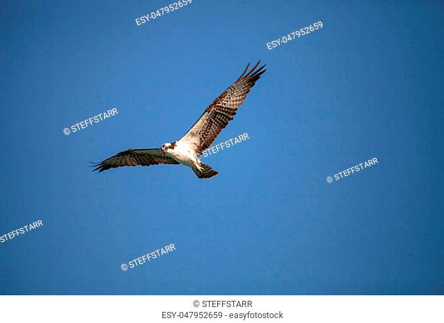 Osprey bird of prey Pandion haliaetus flying across a blue sky over Clam pass in Naples, Florida in the morning