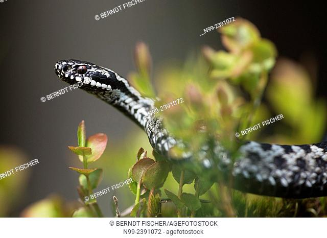Adder (Vipera berus), male, creeping through blueberry bushes, Bavaria, Germany