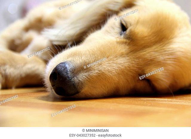 Sleeping long hair dachshund on a wooden floor